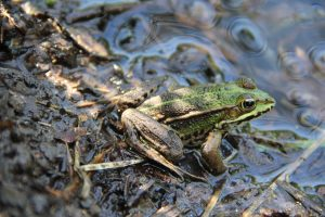 expertise naturaliste - amphibiens - 1