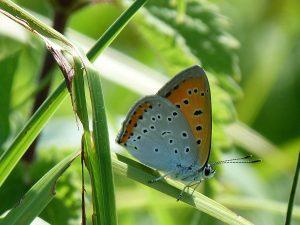 expertise naturaliste - lépidoptères rhopalocères - 1