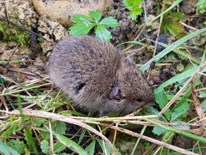 expertise naturaliste - mammifères micromammifères - 1