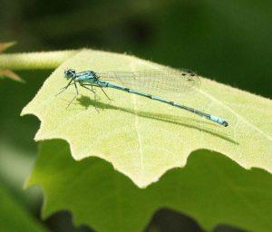 expertise naturaliste - Odonates - 1